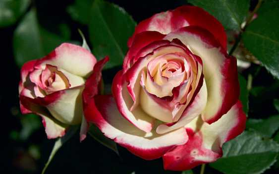 "Tatyana Kopulova. Roses ""Melody of soul"" - photo 1"