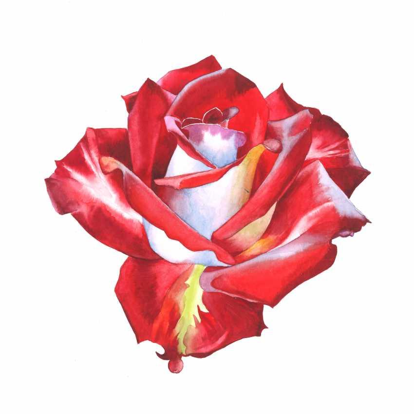 Maryna Lysiana. Red rose - photo 1