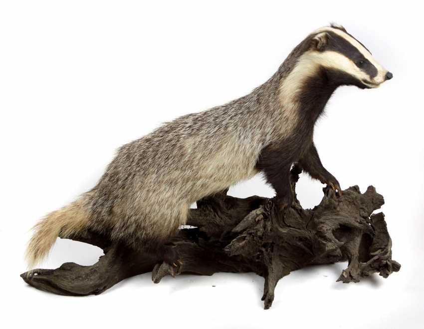 Badger - photo 1