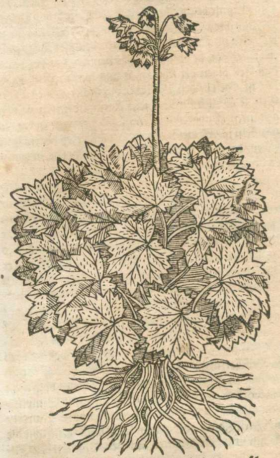 Tabernaemontanus, J.T. - photo 1
