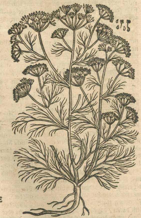 Tabernaemontanus, J.T. - photo 2