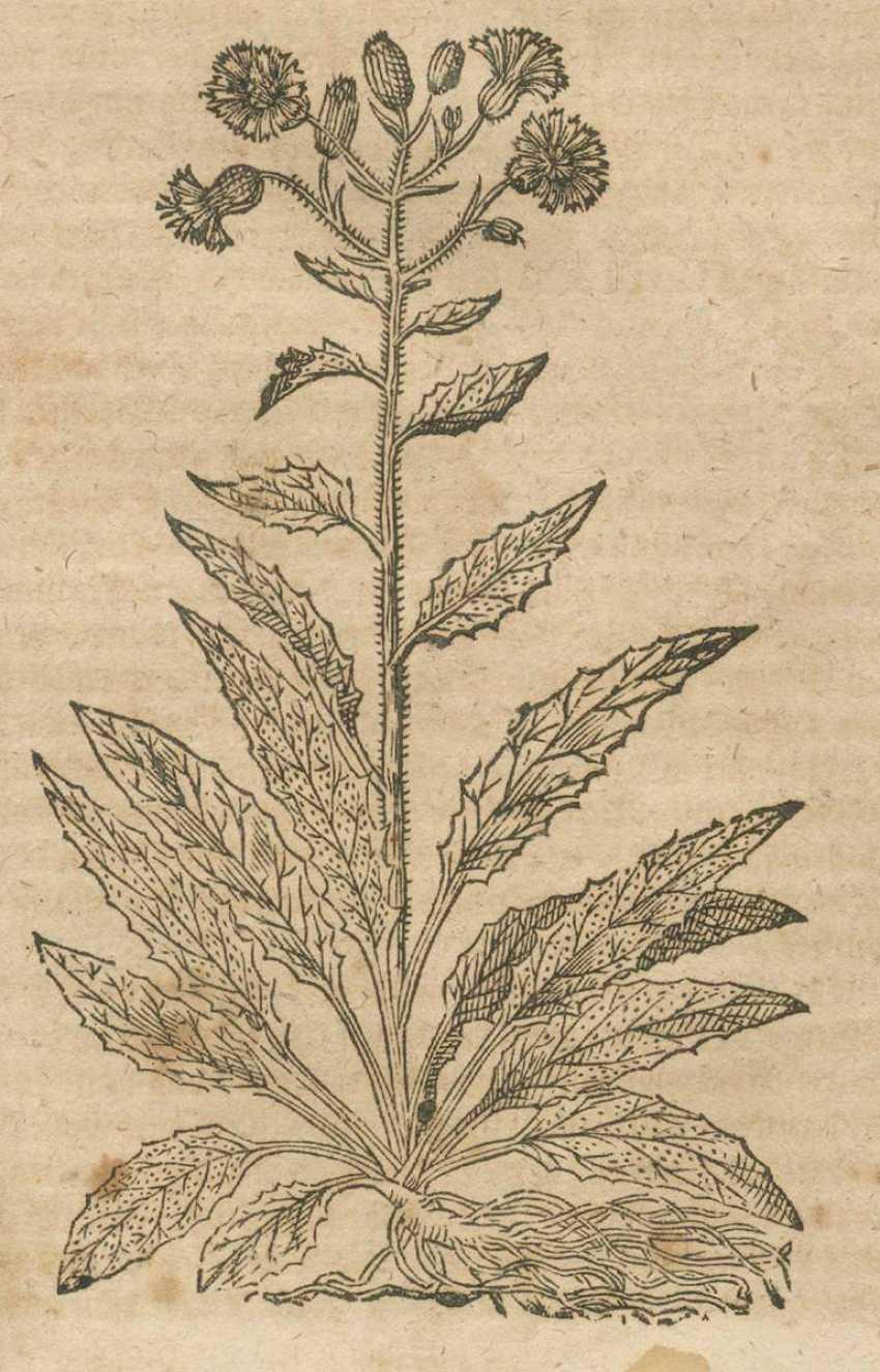 Tabernaemontanus, J.T. - photo 3