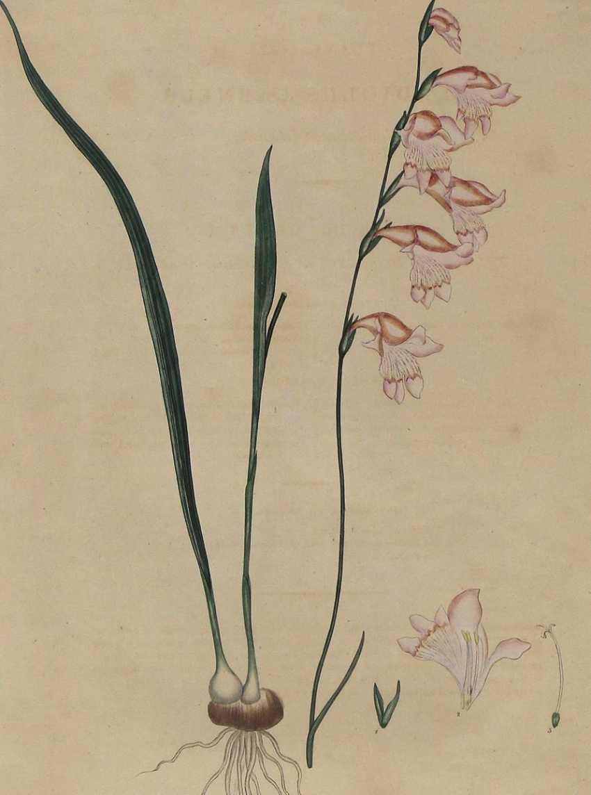 Gladiolus Carneus. - photo 1