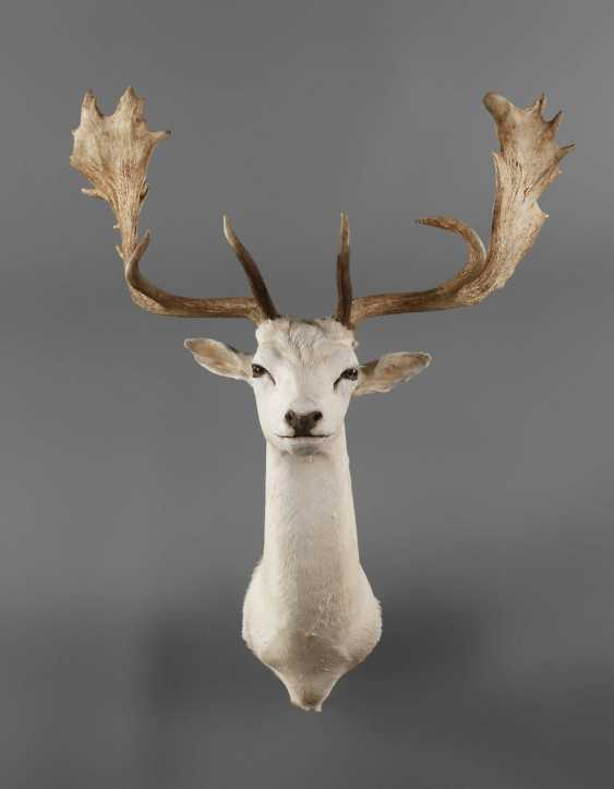 Fallow Deer Albino - photo 1