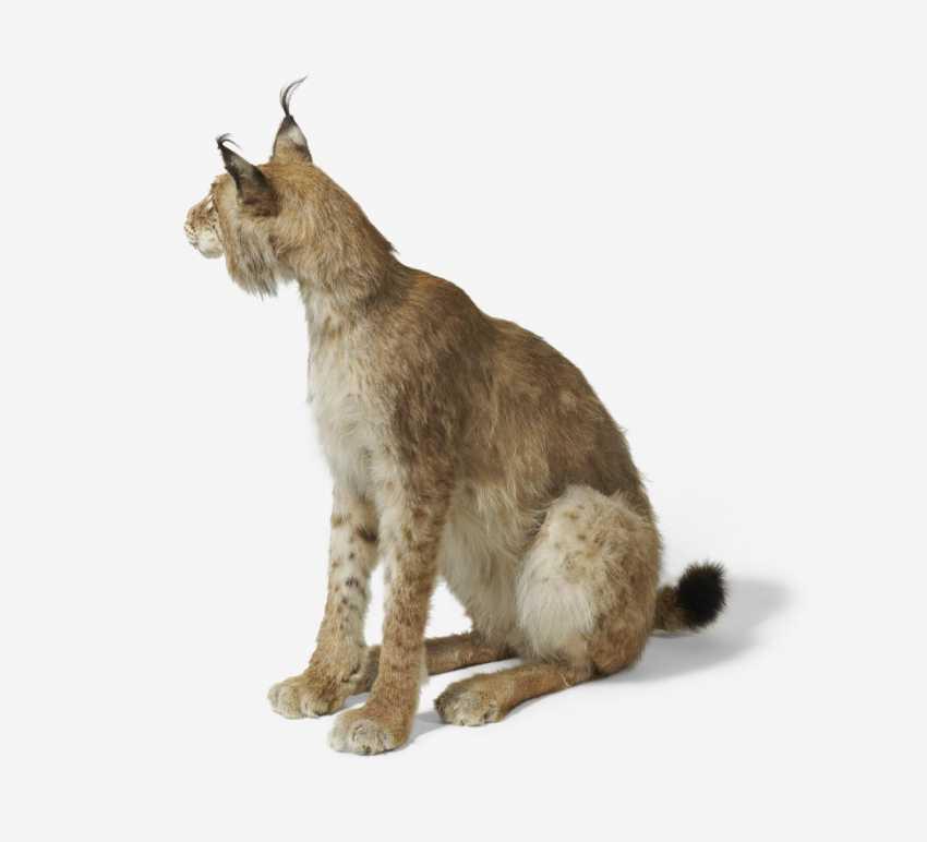 Sitting Eurasian Lynx - photo 3