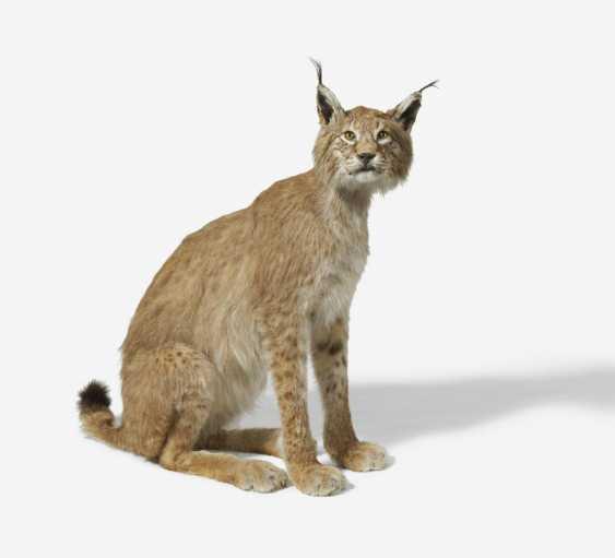 Sitting Eurasian Lynx - photo 5
