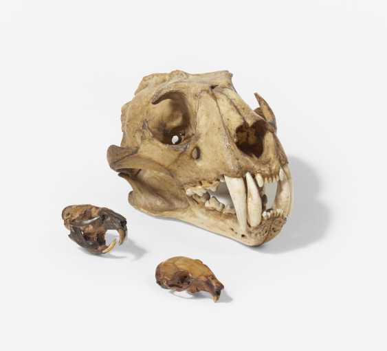 Skulls of bear, beaver and rabbit - photo 3