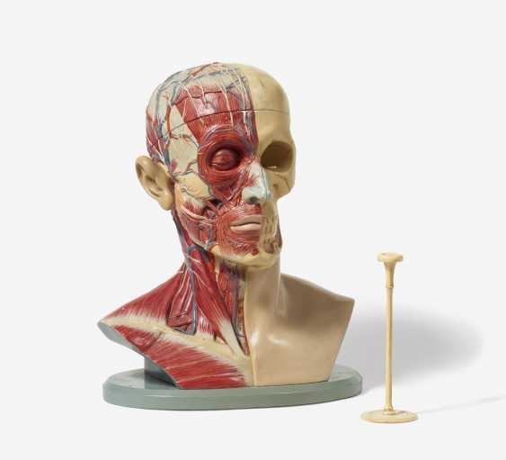 Stethoscope and four anatomical models of the head - photo 3