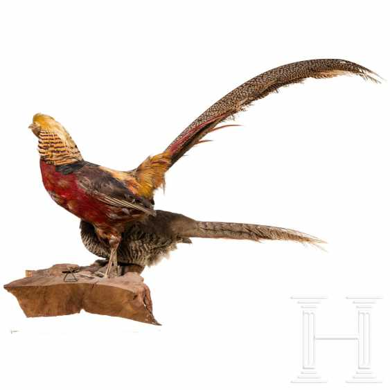 Preparation of a golden pheasant and its hen, German, around 1920/30 - photo 3