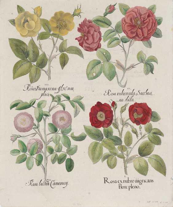 BESLER, BASIL. A rose of red nigricans - Rosa damasceno flower - - photo 1