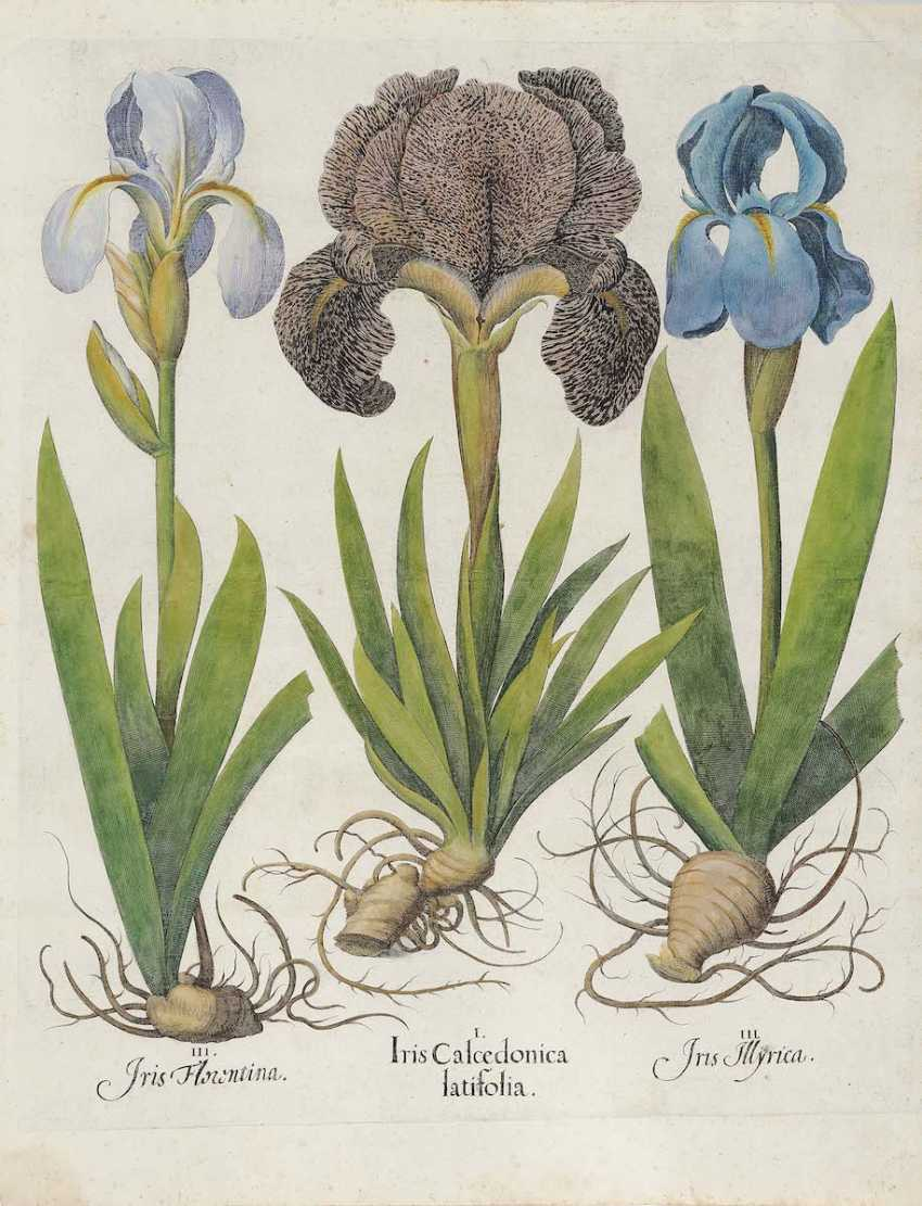 BESLER, BASIL. Iris Calcedonica - Caryophyllus indian - Daffodil larger - photo 1