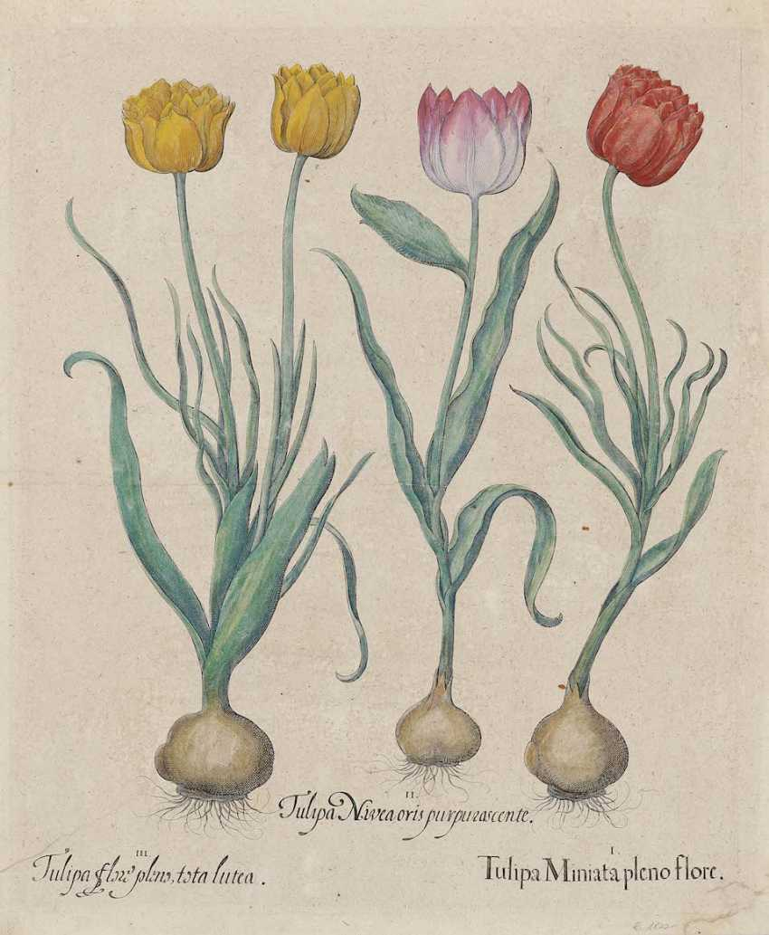 BESLER, BASIL. Tulip Miniata full flor - Fritillaria pyrenaea replace a worn yellowish color - photo 1