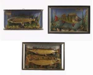 Three panorama boxes with fish