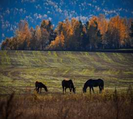 Horses graze in the autumn field