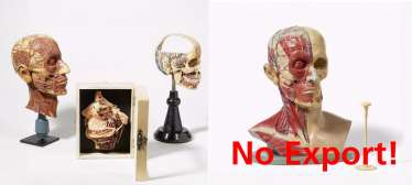 Stethoscope and four anatomical models of the head