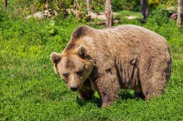 Brown or ordinary bear.